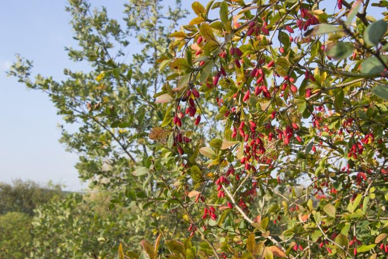 Berberis vulgaris, árbol del veneno imagen de archivo libre de regalías