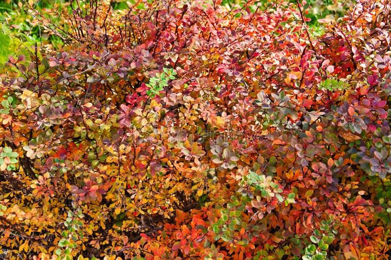 Berberis vulgaris in autumn. Background stock photography