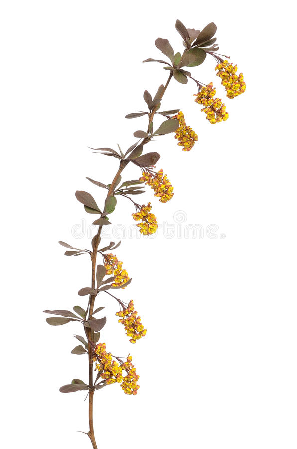 Berberis vulgaris branch. Isolated on white background stock images
