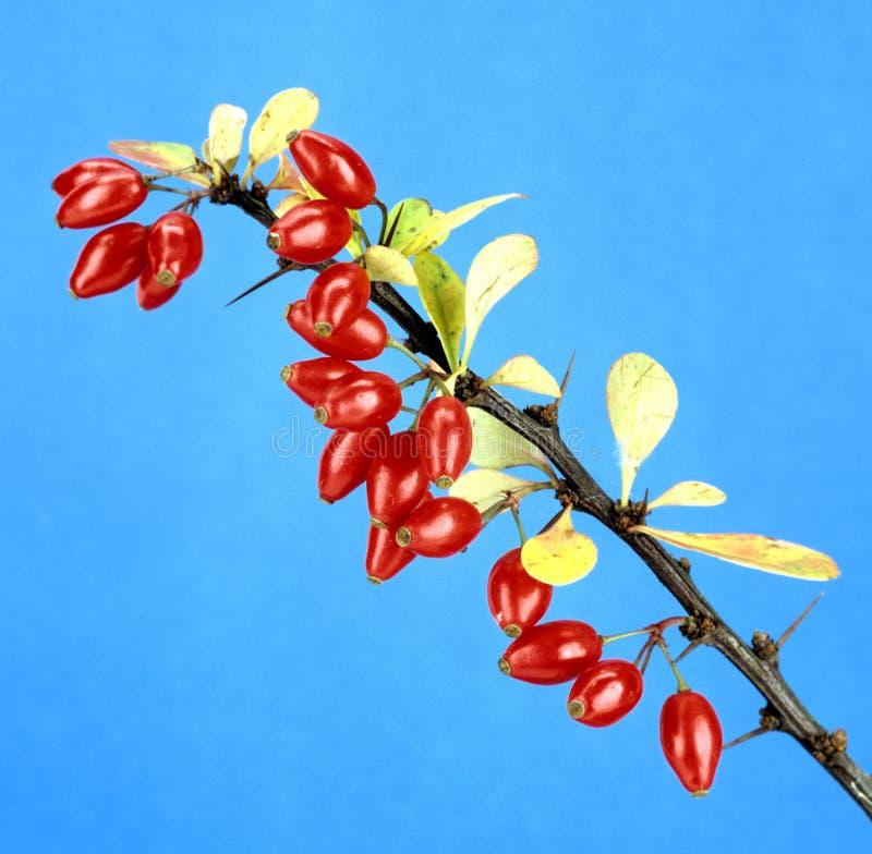 Berberis; vulgaris stock images
