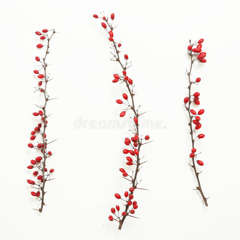 Berberis vulgaris twigs. Tree branches of red berberis with ripe fruits on white stock photography