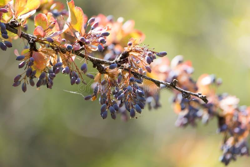Berberitzenbeere auf dem Baum in der Natur stockfotografie