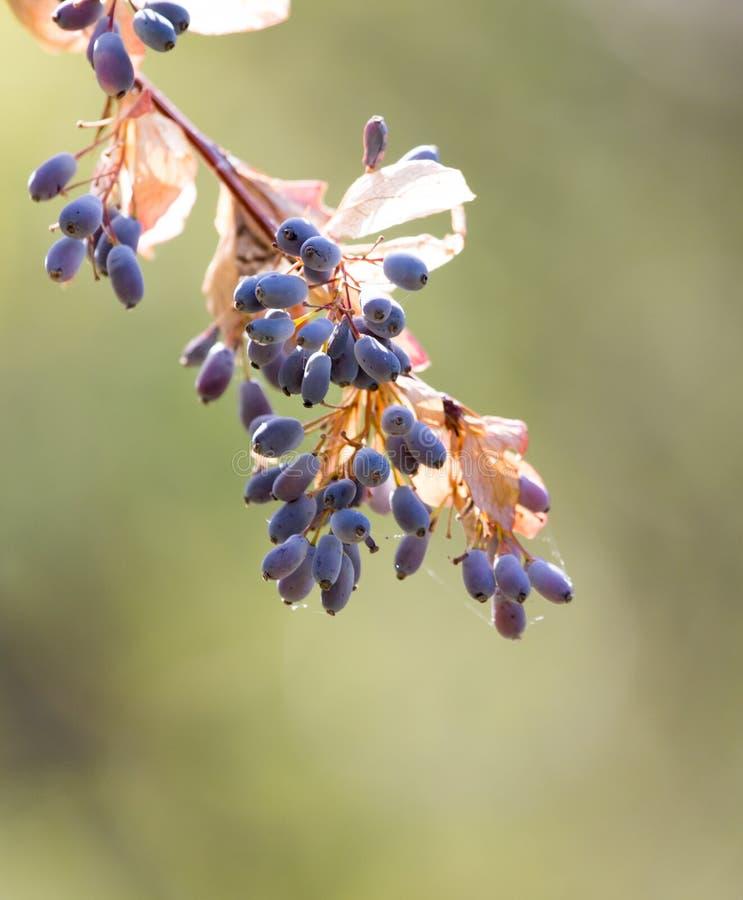 Berberitzenbeere auf dem Baum in der Natur lizenzfreie stockfotos