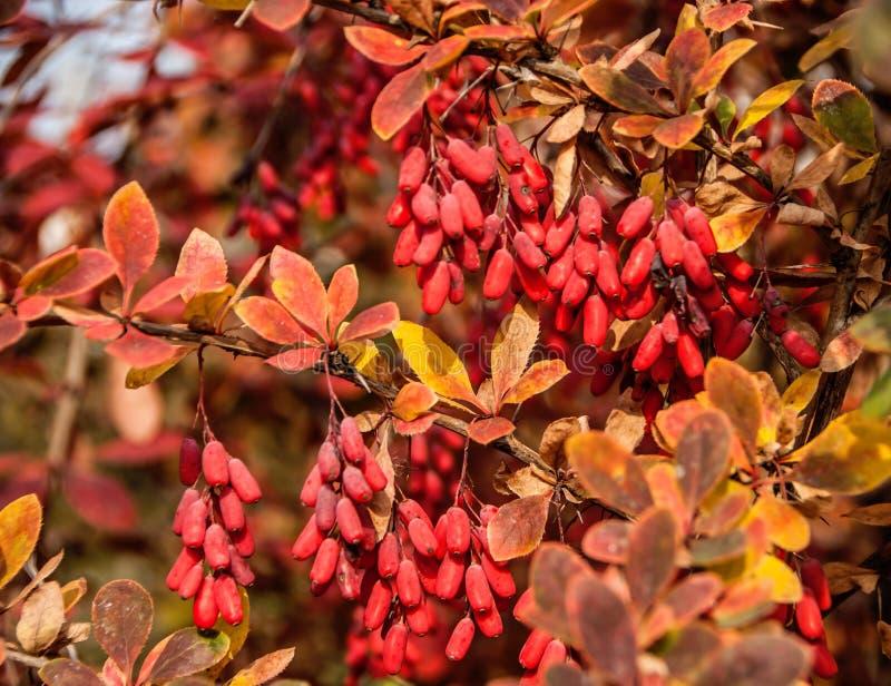 Berberysowego Berberis vulgaris gałąź z naturalnym świeżym dojrzałym jagody tłem zdjęcie stock