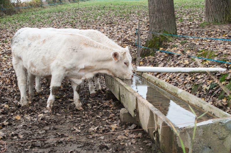 Bere bianco delle mucche fotografia stock