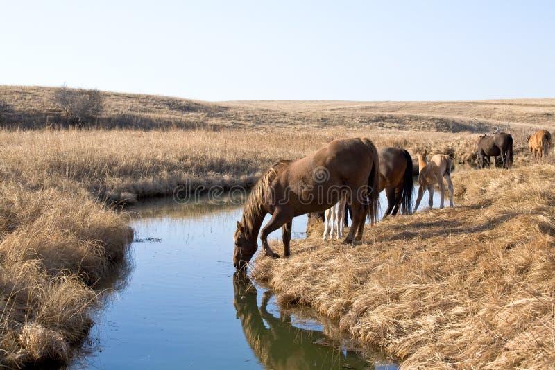 Bere dei cavalli quarti fotografie stock libere da diritti