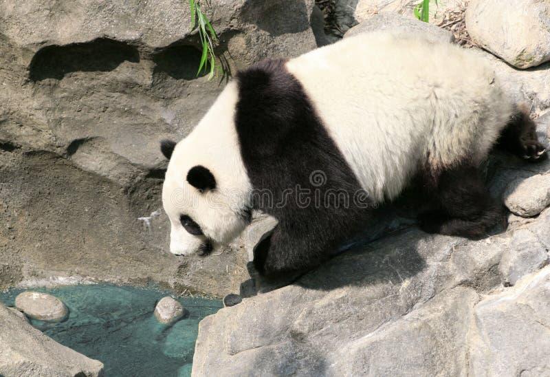 Bere del panda immagini stock