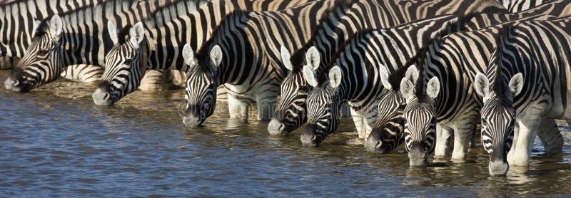 Bere delle zebre immagini stock libere da diritti