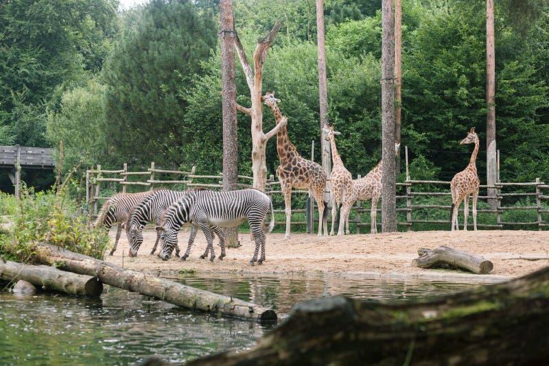 Bere e giraffa della zebra che mangiano albero fotografia stock libera da diritti