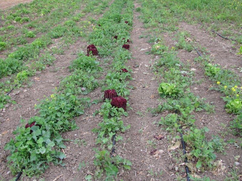 bereed krulsla -- rode krullende salade stock afbeelding