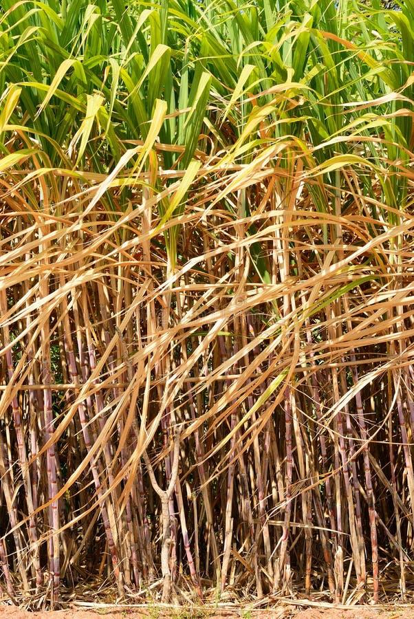 Bereid suikerrietgebied voor royalty-vrije stock foto's