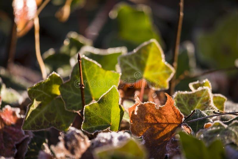 Bereifte Efeu-und Fall-Blätter stockfotos