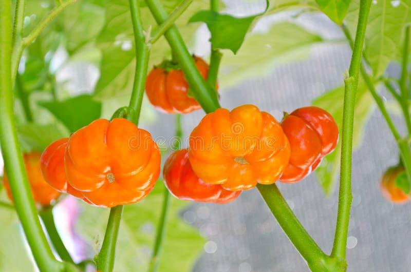 Berenjena del escarlata, tomate falso Mini Pumpkins, huevo de oro japonés fotos de archivo