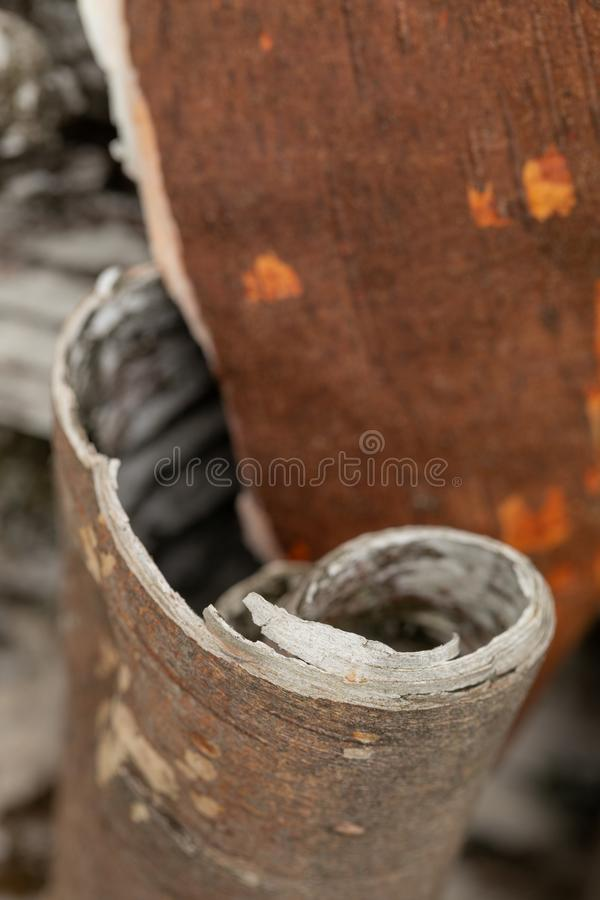 Free Beresta. The Top Layer Of Bark, Torn From A Birch Royalty Free Stock Images - 148746769