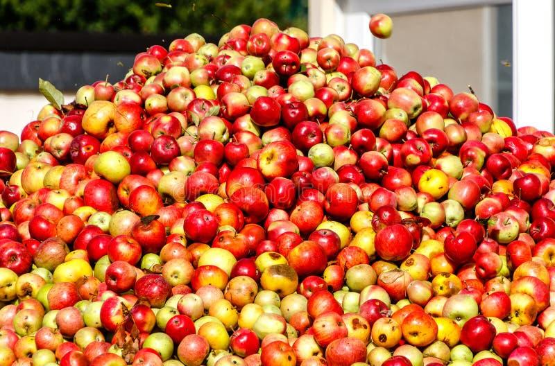 Berg av äpplen för framställning av äppeljuice och av äppelmust i Hessen, Tyskland arkivfoto