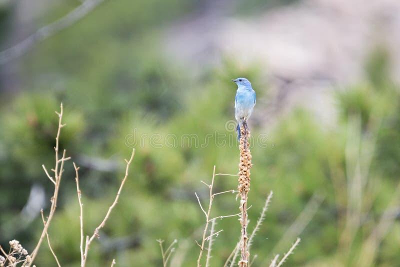 Berg Blauwe Vogel stock afbeeldingen