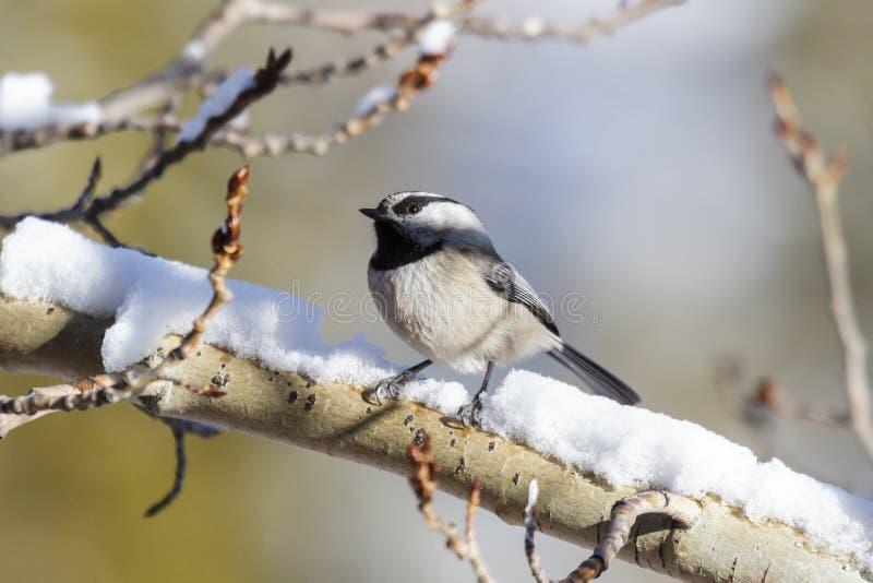 Berg Chickadee op een sneeuw behandelde boomtak die wordt neergestreken royalty-vrije stock afbeelding