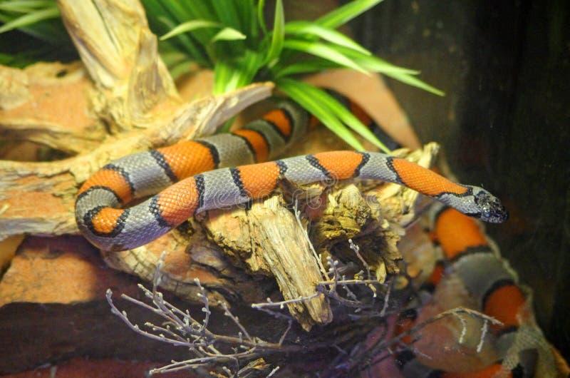 Berg Coral Snake stockfoto