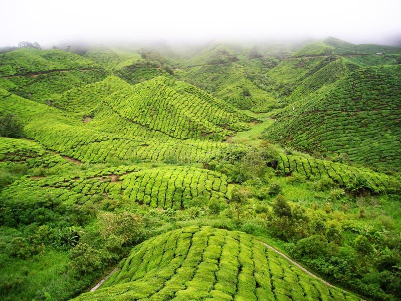 Berg för grönt te royaltyfri bild