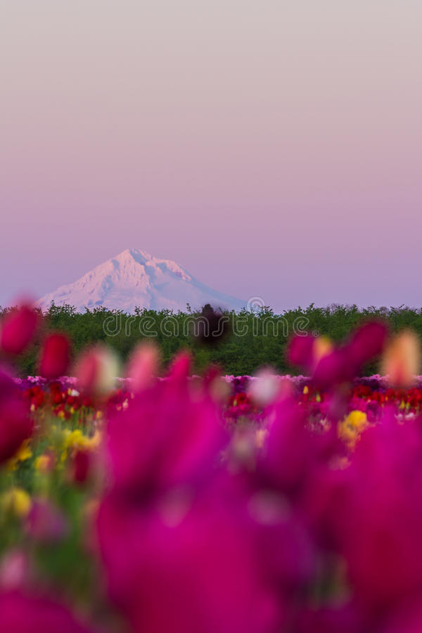 Berg-Haube vom Tulpenbauernhof stockfotos