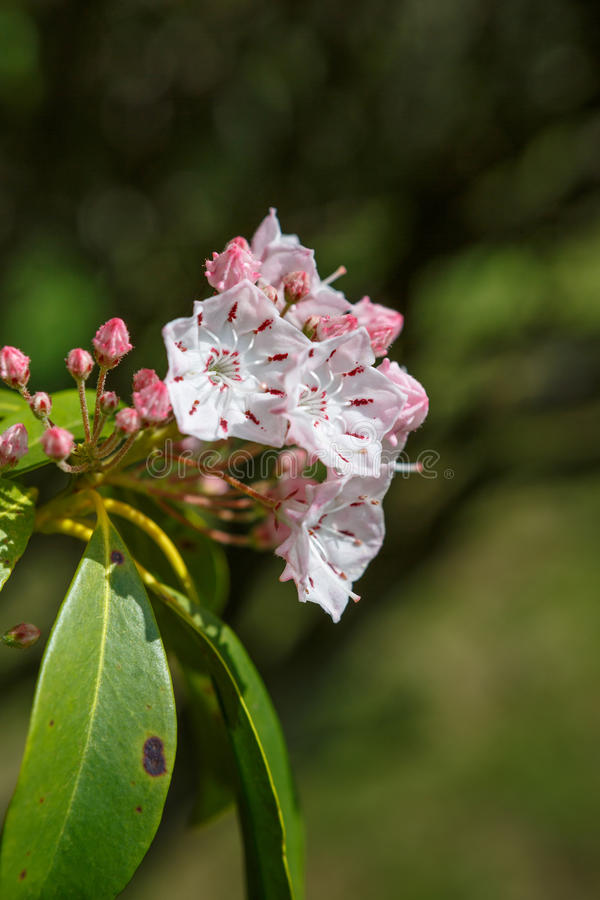 Berg Laurel Flowers Kalmia Latifolia lizenzfreies stockfoto