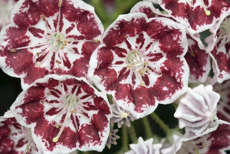 Berg Laurel Flowers Minuet Macro royalty-vrije stock fotografie