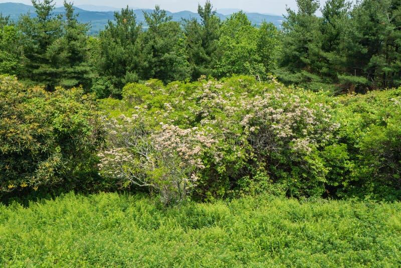 Berg Laurel Garden, Kalmia latifolia stockbilder