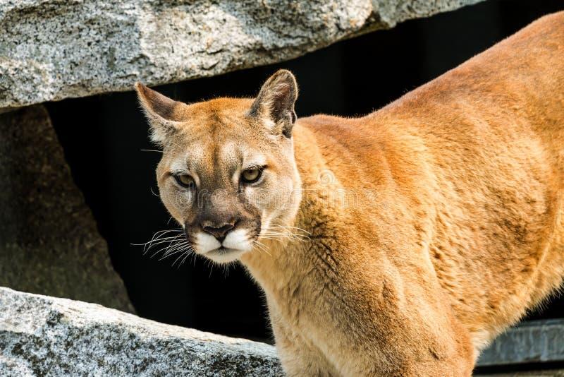 Berg Lion Cougar Puma Concolor Rocks stock afbeeldingen