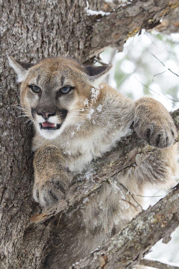 Berg Lion Glaring von einer Kiefer lizenzfreie stockfotos