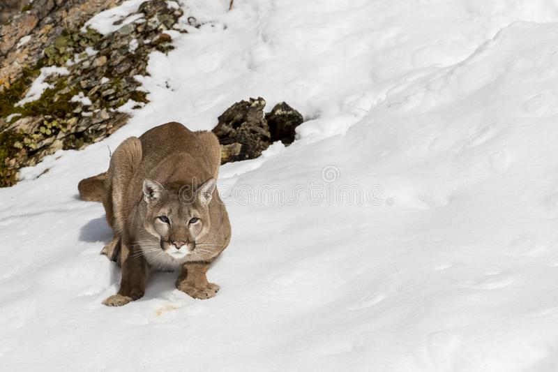 Berg Lion In The Snow arkivbilder
