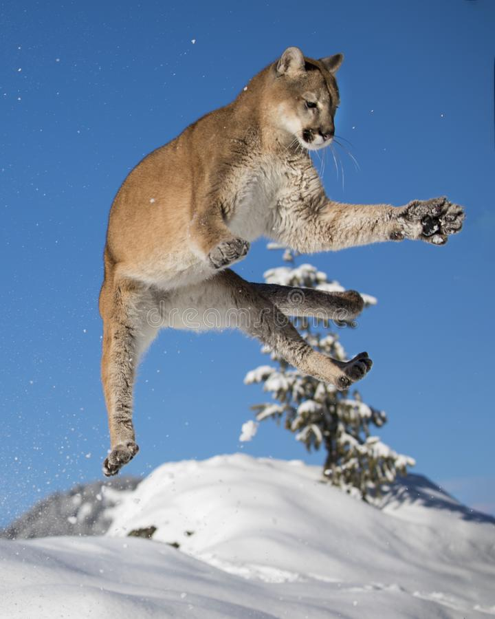 Berg Lion In The Snow royalty-vrije stock afbeelding