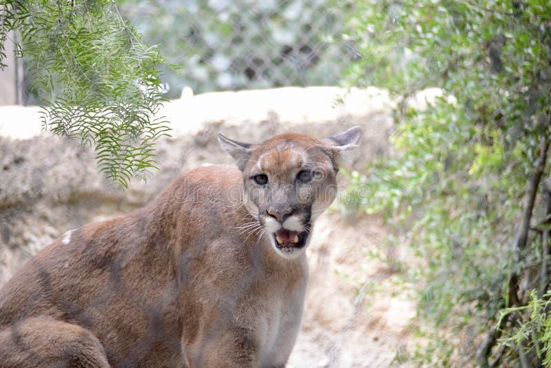 Berg Lion Wild Cat fotografering för bildbyråer