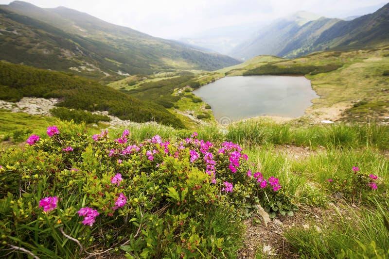 Berg sjön och rhododendronblommalandskapet i Rodnei monterar arkivbilder