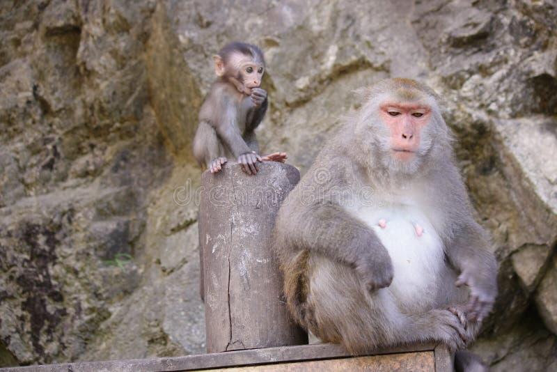 Bergaap met baby in Taiwan stock afbeelding