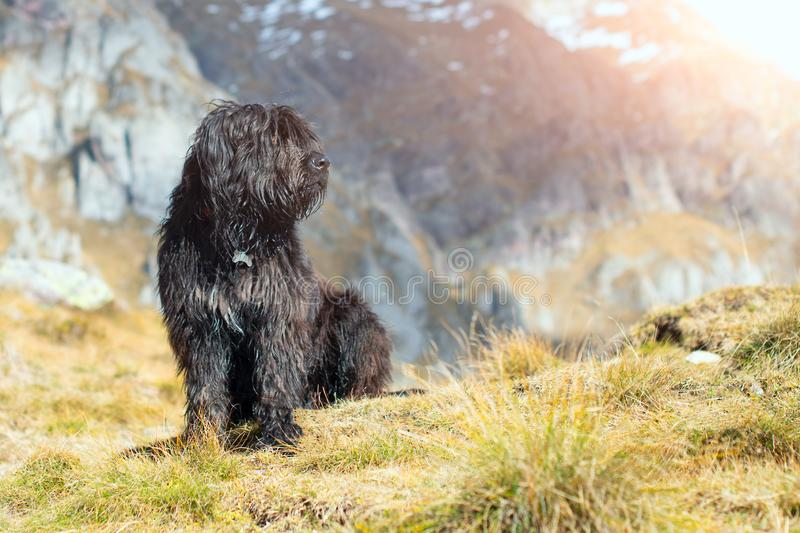 Bergamasco shepherd dog mixed in the meadows.  royalty free stock image