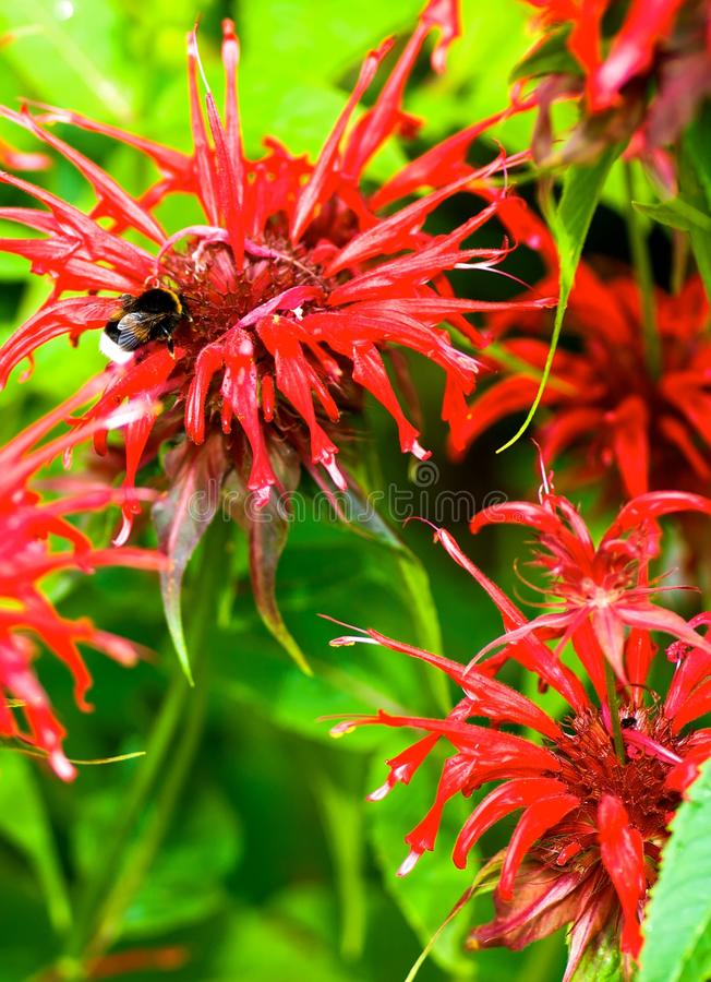 Bergamot flowers. Red bergamot flowers in front of green leaves in the garden in summer stock photos