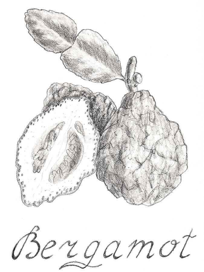 Bergamot Hand getrokken schetsstijl vector illustratie