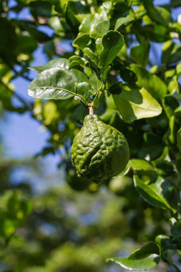 Bergamot or kaffir lime fruit stock photo