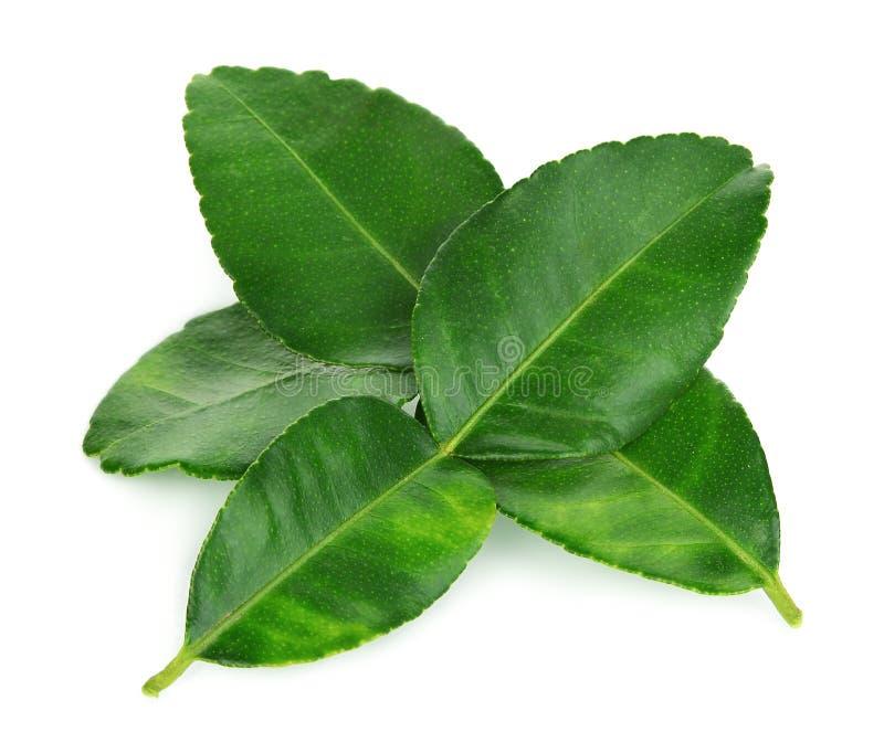 Bergamot leaf isolated on white royalty free stock images