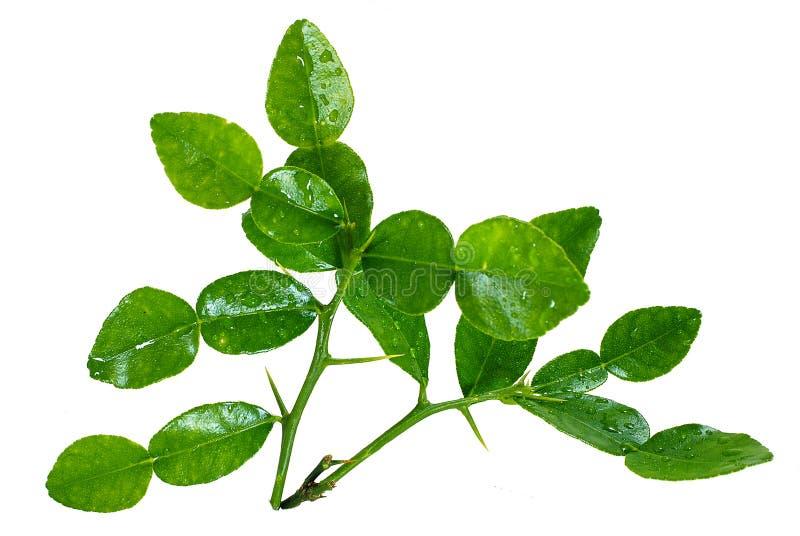 Bergamot leaf isolated on white royalty free stock photo