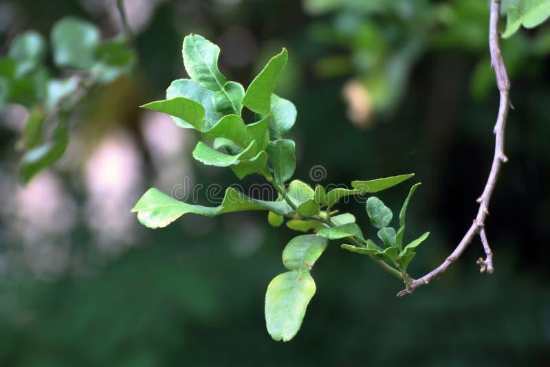 Bergamot leaf nature, kaffir Lime Leaf on tree stock photo