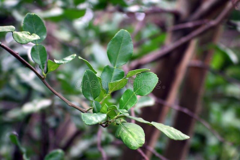 Bergamot leaf, kaffir Lime Leaf stock photos