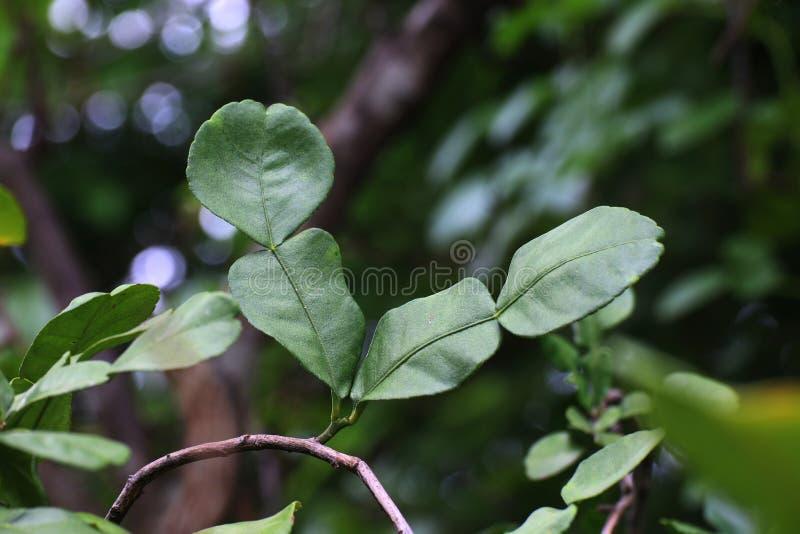 Bergamot leaf, kaffir Lime Leaf stock image