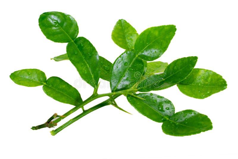 Bergamot leaf isolated on white royalty free stock image