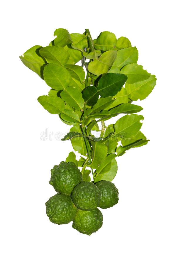 Bergamot and leaves isolated on white background have clipping path.  stock images