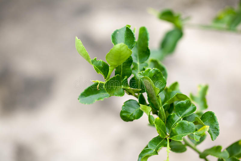 Bergamot leaves stock photos