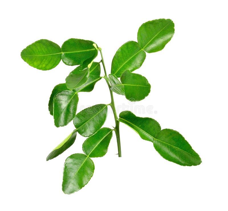 Bergamot leaves on white background stock photos