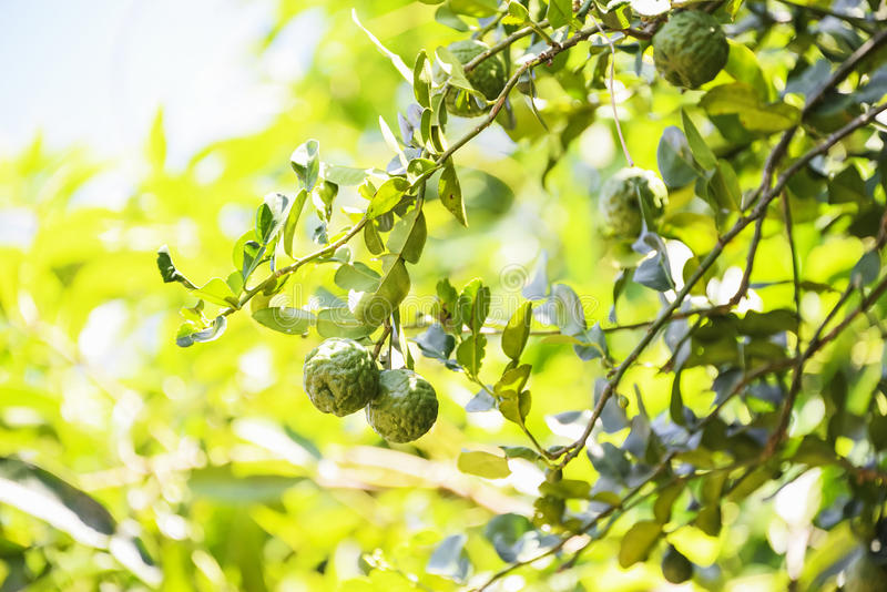 Bergamot. Is a medicinal plant used since ancient times in Thailand royalty free stock photo