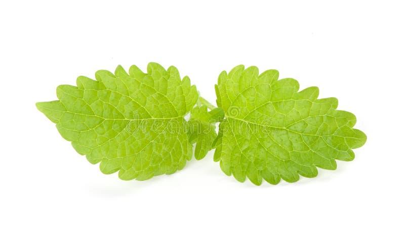 Bergamot mint or balm. Isolated on white background royalty free stock photo