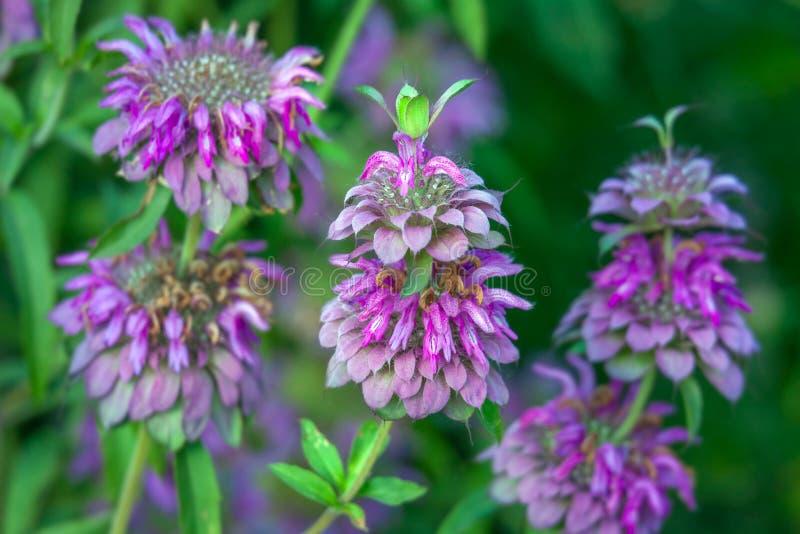Bergamot mint flowers. In the field royalty free stock photo